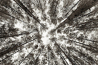Looking up at tall pines. Zagan, Poland.