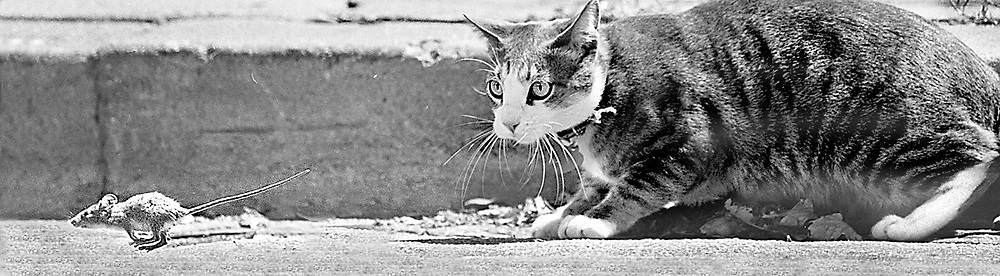 In a scene that has been repeated since the dawn of the adversarily relationship between rodents and felines, a mouse scampers past a cat in Santa Cruz, California enroute to the safety of a drainpipe.  The mouse escaped unharmed.<br /> Photo by Shmuel Thaler <br /> shmuel_thaler@yahoo.com www.shmuelthaler.com