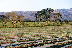 Cultivated Fields On Way To Izabal