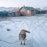 Guard dog. Based in a depression, the Bayankhoshuu ger district is one of the most polluted in Ulan Bator.<br /> Mongolia