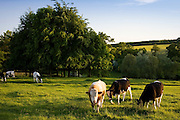 Bull in a field with cows, Oxfordshire, The Cotswolds, United Kingdom