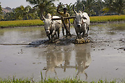 Man driving cows in the water during the Rice harvest, in a field near Hampi, Karnataka, India.
