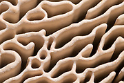 Close-up abstract of the intricate pore structure of an oak mazegill fungus (Daedalea quercina) showing the widely-spaced gill-like ridges attached to an oak tree in a Norfolk wood in winter