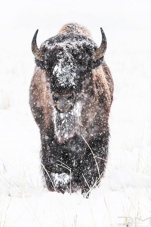 Bison under the snow