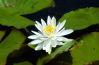 A water lily with lilypads on a hot summer day on Lake Jackson in Leon County, Florida.