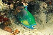 white-eyed moray eel, Gymnothorax thyrsoideus,<br /> investigates Bleeker's parrotfish, Chlorurus bleekeri , <br /> sleeping in mucus cocoon at night,<br /> Mabul Island, Sabah, Borneo, Malaysia ( Celebes Sea )