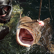 DJ Struntz wrestles a large Grouper he shot into a waiting boat. Groupers are a skittish fish,  dwelling on the bottom of the sea-floor, so divers must descend deep and stalk them slowly.