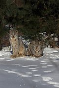 Adult Canadian lynx (Lynx canadensis) with several sub-adult kittens in Superior National Forest, Minnesota. Wild, non-captive, non-baited.