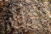 Detail of the bark of a 100-year-old Agathis tree (Agathis borneensis), the biggest in Indonesia, at the Arsari Lestari conservation forest in Penajam Paser Utara district, East Kalimantan, Indonesia, on March 12, 2016. <br /> (Photo: Rodrigo Ordonez)