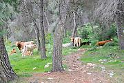 Cattle graze in a pine tree forest