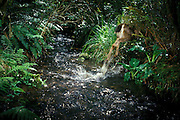 A deer bounds through a stream. An automated camera caught the back end of it as dissappears into the riparian tangle. Photographed in the de-commisioned US Army Camp Bonneville in SW Washington.