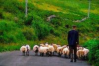 Man herding his sheep down a road near Clonbur, Lough Mask, County Galway, Ireland