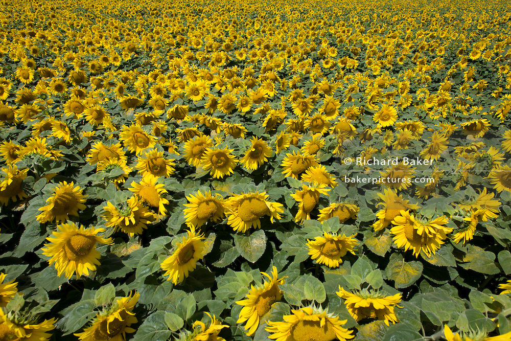 Sunflowers flourishing on land near Malle, Indre-et-Loire region, France. Sunflower plants are cultivated in Sunflower farms for their seeds. Refined Sunflower-seed oil is edible, sunflowers have 39 to 49% oil in the seed. Sunflower seed accounts for about 14% of the world production of seed oils (6.9 million metric tons in 1985-86) and about 7% of the oilcake and meal produced from oilseeds. Sunflower oil is generally considered a premium oil because of its light color, high level of unsaturated fatty acids and lack of linolenic acid, bland flavor and high smoke points.