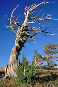 Twisted bristlecone pine, Windy Ridge, Mt. Bross, near Alma, Colorado