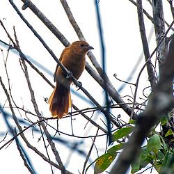 Pipira-preta (Tachyphonus rufus) fotografado no Parque Nacional da Chapada dos Veadeiros - Goiás. Bioma Cerrado. Registro feito em 2015.<br /> ⠀<br /> ⠀<br /> <br /> <br /> <br /> <br /> <br /> ENGLISH: White-lined Tanager photographed in Chapada dos Veadeiros National Park - Goias. Cerrado Biome. Picture made in 2015.