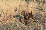 John Zeman works his 13 week old GSP puppies on live birds.