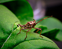 Western Conifer Seed Bug on an Arugula leaf. Image taken with a Fuji X-T3 camera and 80 mm f/2.8 macro lens (ISO 160, 80 mm, f/16, 1/60 sec).