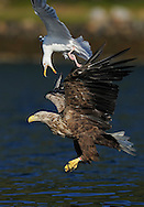 White tailed sea eagle (Haliaeetus albicilla) mobbed by Great Black-backed gull (Larus maritimus), Flatanger, Norway. August 2008.