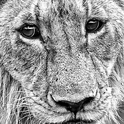 """:Simba""""                                                           Tanzania<br />  To look into the eyes of a lion, is to look into the soul of oneself."""