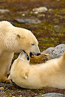 Two female polar bears sparring (play fighting) on the tundra near Hudson Bay, near Churchill, Manitoba, Canada