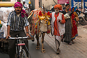 Wedding cow<br /> Agra<br /> Uttar Pradesh,  India