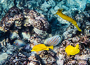 """The yellow tang, or Lau'ipala (Zebrasoma flavescens in the surgeonfish family, Acanthuridae). Zebrasoma flavescens is one of the most popular fish species for saltwater aquariums. Hawaii sources up to 70% of the aquarium industry's yellow tangs. """"flavescens"""" means yellow in Latin. The yellow tang is commonly found in shallow reefs in the Pacific and Indian Oceans, west of Hawaii and east of Japan. It has been seen in waters around Florida, where it is not native. Nunu, yellow trumpet fish, Aulostomus chinensis. Ornate Butterflyfish or Kikakapu (Chaetodon ornatissimus). This fish is widespread throughout the tropical waters of the Indo-Pacific area. Snorkel at Two-Step (Pae'a) on Honaunau Bay, located across Keoneele Cove from Pu'uhonu O Honaunau National Historical Park (""""Place of Refuge""""), on the Big Island of Hawaii, USA. Address of Pae'a: 84-5571 Honaunau Beach Rd, Captain Cook, HI 96704."""