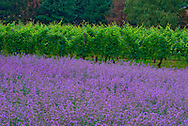 Bedell Cellars winery, Lavender, 20 x 30 inches archival canvas, Edition of 25, $600