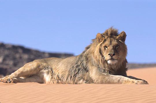 African Lion, (Panthera leo)  Portrait.  Captive Animal.
