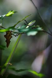 Rough green snake (Opheodrys aestivus,), Great Trinity Forest, Dallas, Texas, USA