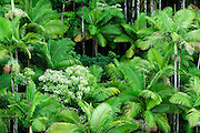 Horizontal view of lush, green foliage on the island of Hawaii.