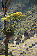 Orchids clinging onto a tree overlooking Machu Picchu's rice terraces, Cusco Region, Urubamba Province, Machupicchu District in Peru, South America