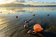 Oceania, New Zealand, Aotearoa, North Island, Waikanae , Waikanae Beach, Clam in the sand