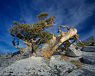 Gnarly western juniper has grown from a crack in granite in the high country of Yosemite National Park and endured for many centuries, with the dead portions of the trunk well preserved and revealing the beauty of the wood, © David A. Ponton