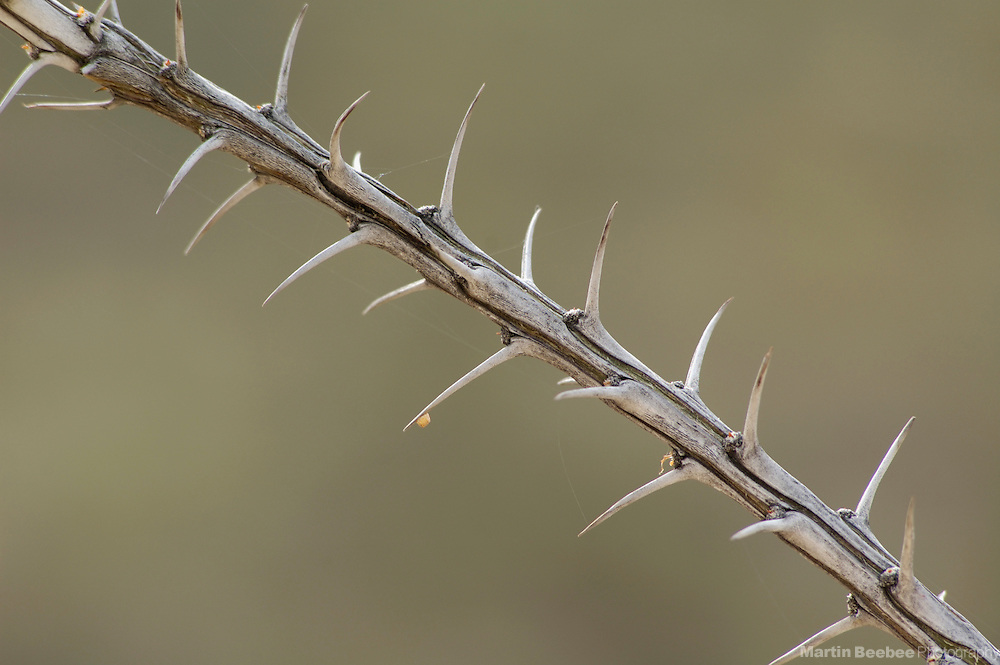 Ocotillo branch without leaves (Fouquieria splendens), Pusch Ridge Wilderness, Coronado National Forest, Arizona