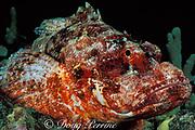 titan scorpionfish or nohu, Scorpaenopsis cacopsis, <br /> endemic to Hawaii, USA<br /> Kona, Hawaii, USA ( Pacific )
