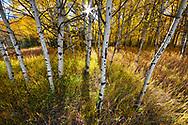 Aspens, Sunburst, Kananaskis Valley, Alberta