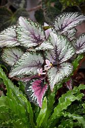 Begonia rex  - Painted-leaf begonia, King begonia, Fan plant