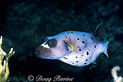 blackspotted puffer or black spotted blow fish<br /> Arothron nigropunctatus, Susan's Reef, Kimbe Bay, <br /> New Britain Island, Papua New Guinea <br /> ( Bismarck Sea / Western Pacific Ocean )