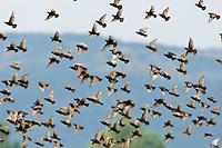 Starenschwarm Sturnus vulgaris, Ost-Slowakei / Starling swarm, Sturnus vulgaris, East Slovakia