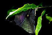 Spider spinning a web. Photographed in the Costa Rican rain forest