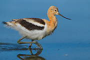 Stock photo of American Avocet Chick captured in Colorado.  Chicks leave the nest within 24 hours after hatching.  Day-old avocets can walk, swim and dive to escape predators.