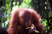 Orangutan eating a banana in Bukit Lawang, Sumatra Indonesia. Bukit Lawang is a small tourist village at the bank of Bahorok River in North Sumatra province of Indonesia. Bukit Lawang is known for the largest animal sanctuary of Sumatran orangutan, around 5,000 orangutans occupy the area.