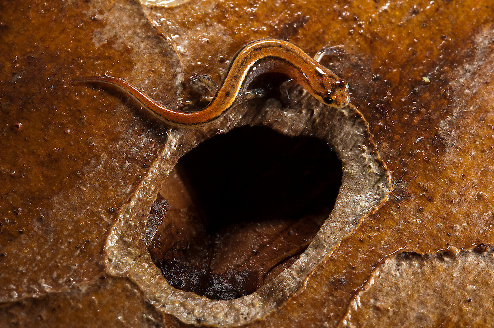 Seepage Salamander (Desmognathus aeneus)<br /> CAPTIVE<br /> North Georgia<br /> USA<br /> HABITAT & RANGE: Seeps and moist areas around small streams, moist leaf litter, moss, under logs. Southern Appalachian Mountains of se Tennessee, sw North Carolina and n Georgia and Alabama