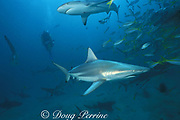 blacktip shark, Carcharhinus limbatus, (below) and Caribbean reef shark, Carcharhinus perezi, (above), Bahamas ( Atlantic )