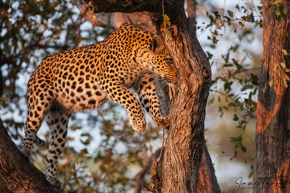 A leopard (Panthera pardus) moving from branch to branch in a tree while hunting , Moremi Game Reserve, Botswana, Africa