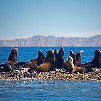 Mexico, Baja California Sur, islands of Loreto. Sea lions in the Sea of Cortez.