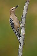 Gila Woodpecker - Melanerpes uropygialis - male