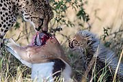 Mother cheetah and her three months old cub feeding on a newly killed thomson gazella. Photo from Maasai Mara, Kenya.