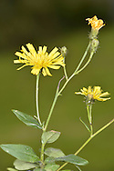UMBELLATE HAWKWEED Hieracium umbellatum (Asteraceae) Height to 80cm. Upright, variable perennial. Stems produce a milky latex when broken and are hairy towards the base. Grows in grassy places, usually on rocky slopes or banks; often coastal. FLOWERS are borne in heads, 2-3cm across, with yellow florets; carried on hairy stalks, in umbellate clusters (Jul-Sep). FRUITS have unbranched hairs. LEAVES are ovate, toothed and unstalked; there is no basal rosette. STATUS-Locally common in SW England and W Wales; scattered and generally scarce elsewhere.