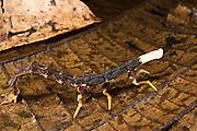 Larva of Glow-worm Beetle (Lampyridae)<br /> Yasuni National Park, Amazon Rainforest<br /> ECUADOR. South America
